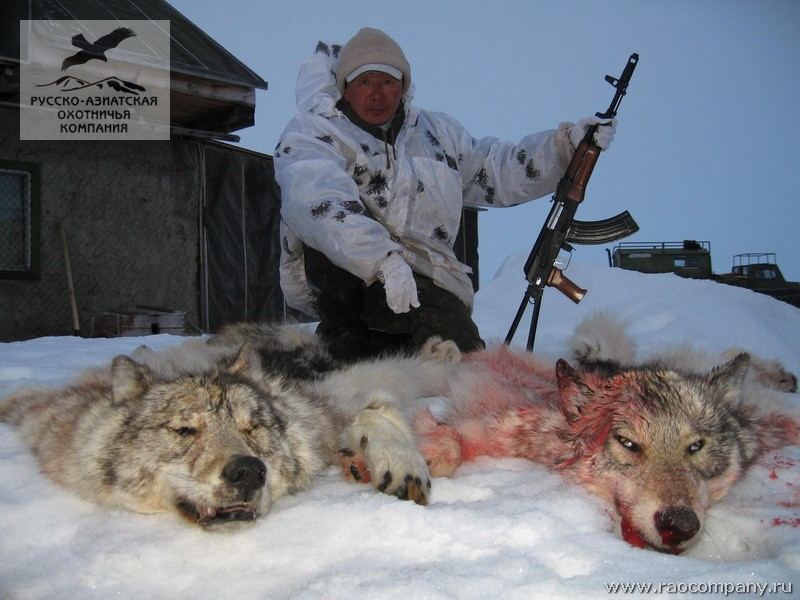 Охота на полярного волка в якутии со