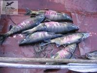Рыбалка на кету на р. Уда, Хабаровский край