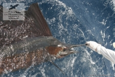 Рыбалка на парусника в Коста-Рике