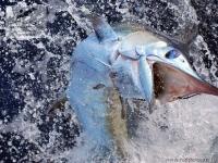 Рыбалка на синего марлина в Коста-Рике