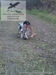 Охота с русским спаниелем на зайца во Владимирской области