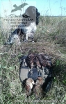 Охота с русским спаниелем на коростеля во Владимирской области