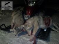 Волки в Саратовской области