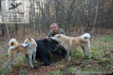 Охота на кабана с лайками в Орловской области