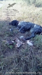 Охота с бретонским эпаньолем в Орловской области