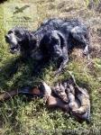 Охота на птицу с бретонскими эпаньолями