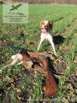 Охота в Ростовский области с бретонским эпаньолем