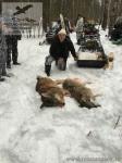 Охота на волка с флажками в Нижегородской области