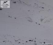 Снежные бараны в Восточной Якутии