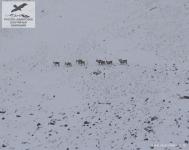 Северные олени в Якутии