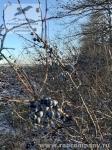 Орловская область, зимний терн