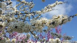 Персики в Крыму