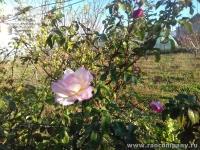 Ноябрьская роза в Крыму