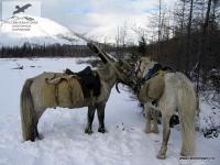 Лошадки в Якутии